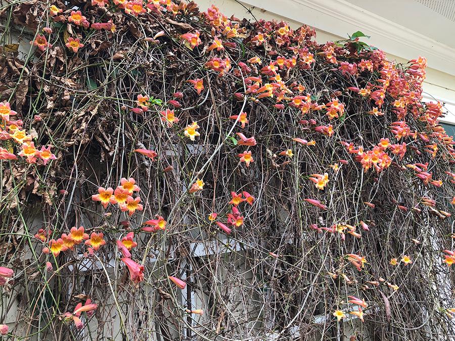 Pink flowers at Hopelands Gardens Aiken, SC